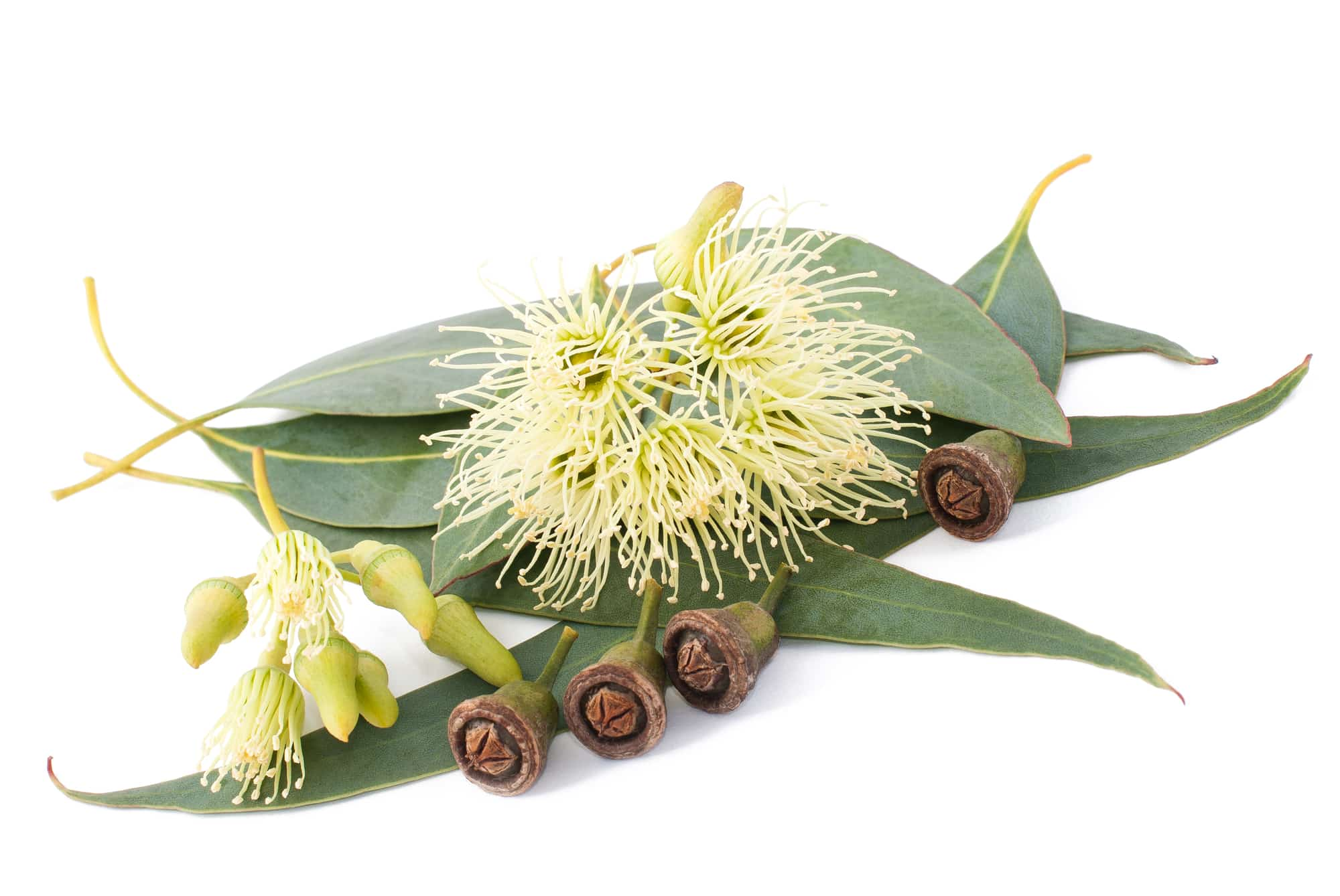 Eukalyptus: 4 Wirkungen und 3 Verwendungen der Heilpflanze