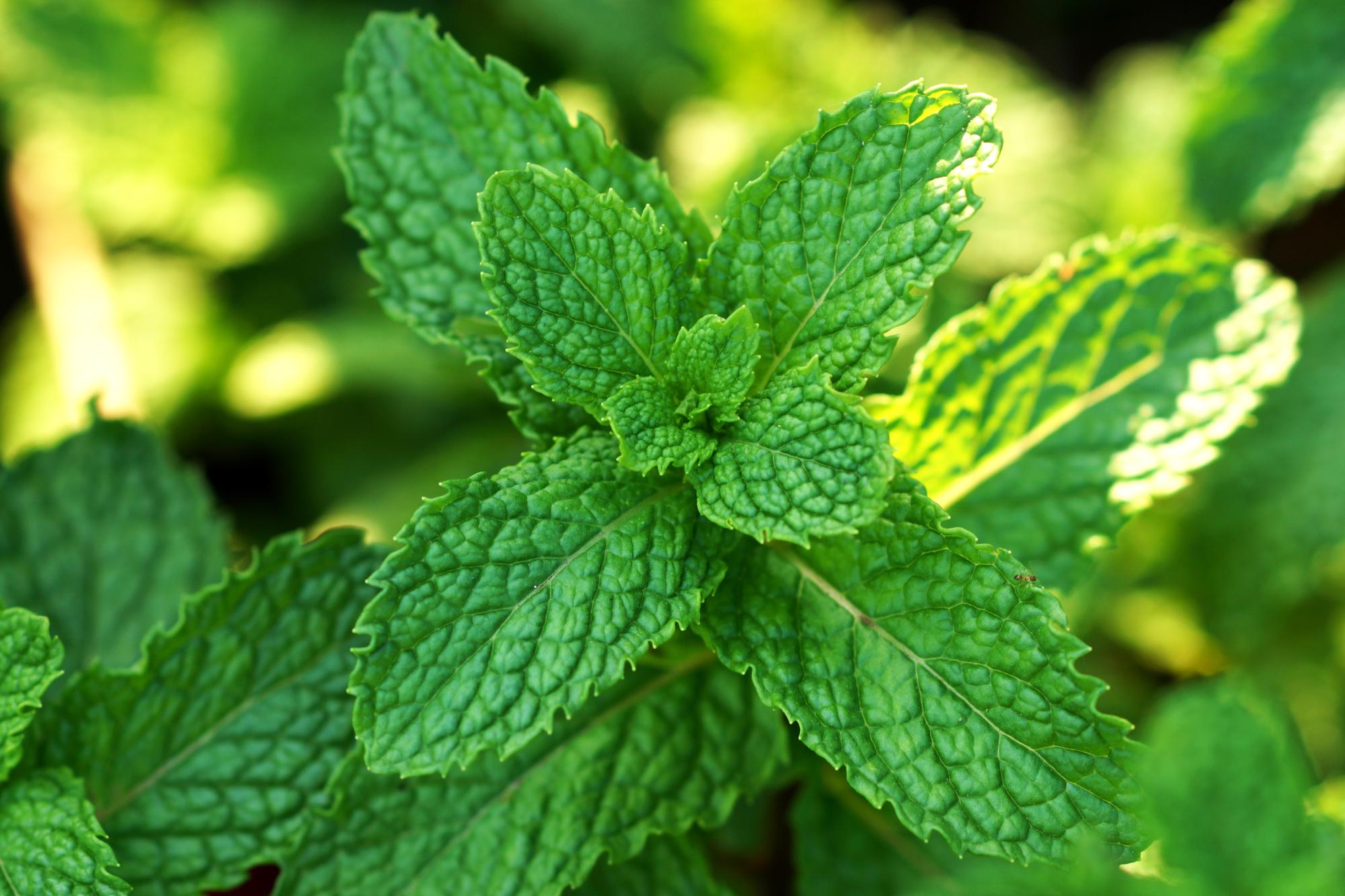 Pfefferminze: 5 Wirkungen & 8 Tipps zur Verwendung der Heilpflanze
