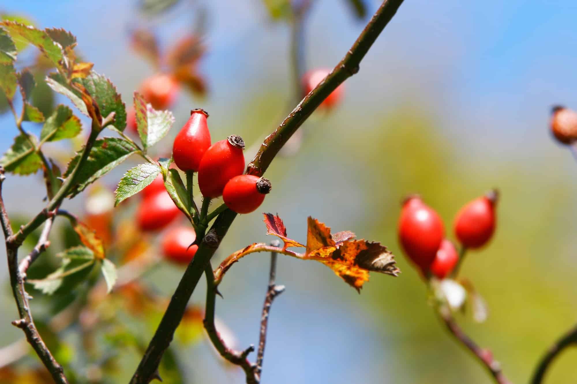 Hagebutte: 6 Wirkungen + 4 Anwendungen der gesunden Heilpflanze